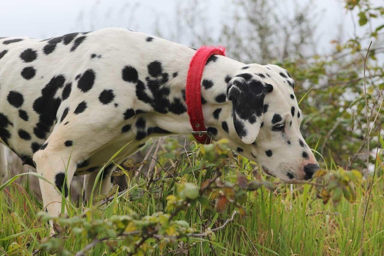 dalmatian, dog, canine
