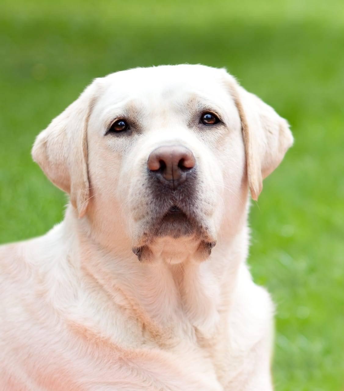 dog, white, labrador